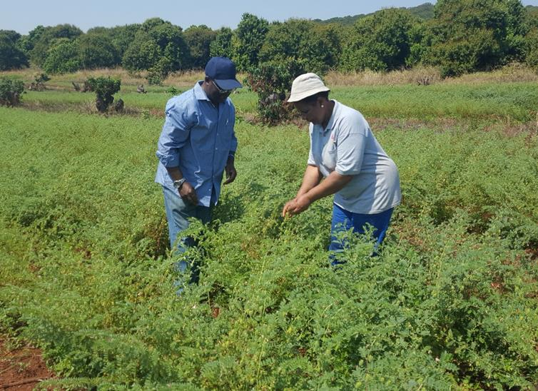 A pilot project indicates success in chickpea production by local farmers in South Africa